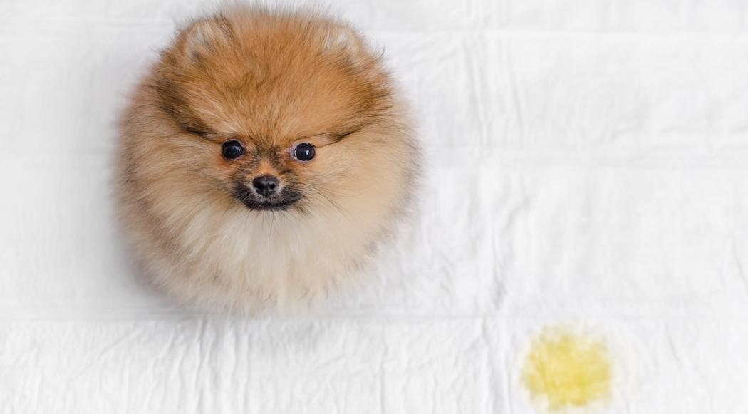 odvikavanje od pelena psi
