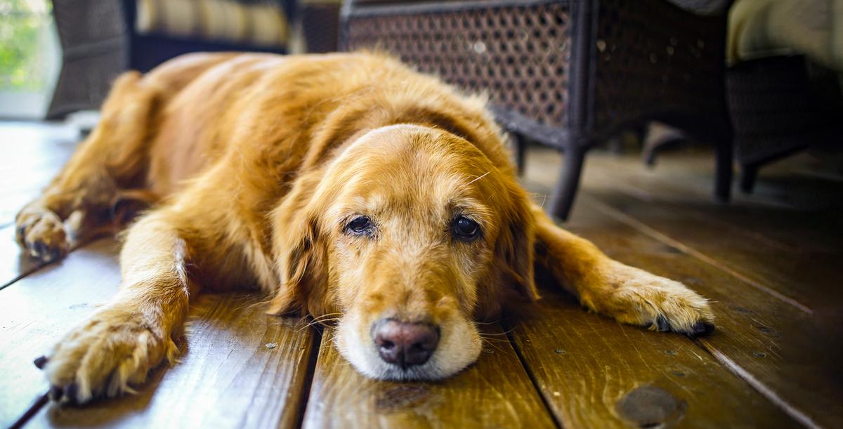 Stariji pas